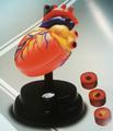 小学科学实训室装备方案 科学探究仪器 心脏呼吸模型