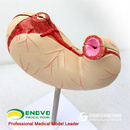 ENOVO颐诺胃解剖结构模型胃模型人体消化系统器官医学解剖模型