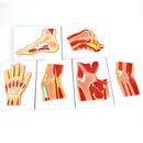 ENOVO颐诺人体关节肌肉模型 骨关节剖面关节构造MRI关节肌肉骨骼解剖