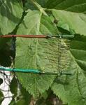 ΔLA葉面溫差傳感器