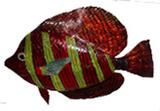 k---0004高鳍刺尾鱼(刺尾鱼科)