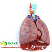 ENOVO颐诺医学人体喉心肺解剖模型呼吸系统心脏模型耳鼻喉胸外科