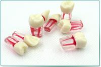 ENOVO颐诺口腔科根管离体牙模型牙体牙髓学 根管充填制备8个牙位