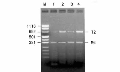 美国ATCC 小鼠白血病细胞株 L1210