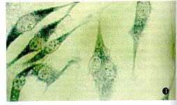 美国Sciencell 人胚心肌组织来源细胞株 CCC-HHM-2