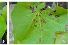 光譜成像技術應用于植物病害早期檢測