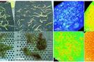FluorCam叶绿素荧光系统发表文献选录(十五)  ——铜积累植物沼泽景天的显微光合特性