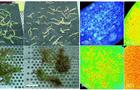 FluorCam葉綠素熒光系統發表文獻選錄(十五)  ——銅積累植物沼澤景天的顯微光合特性
