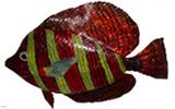 k---0004高鰭刺尾魚(刺尾魚科)