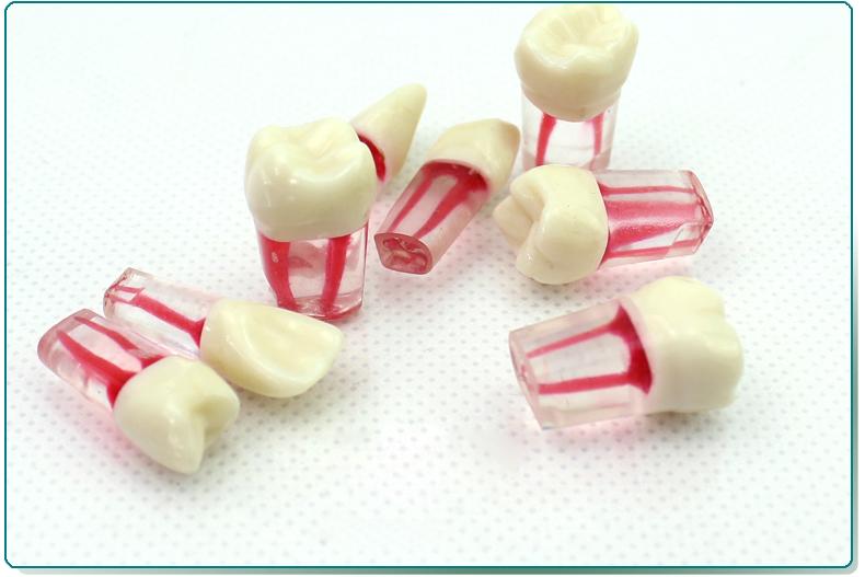 ENOVO頤諾口腔科根管離體牙模型牙體牙髓學 根管充填制備8個牙位