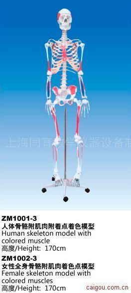 男/女人体骨骼附肌肉附着点着色模型